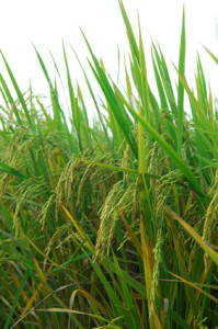 rizs növény